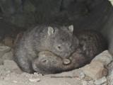 Aussie mammals