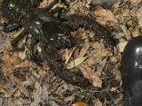 Giant Spiny Crayfish Euastacus spinifer (I think)