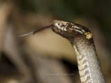 Krefft's Dwarf Snake, Cacophis krefftii
