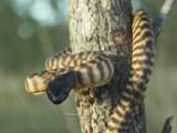 Australian Snakes, Suborder Serpentes.