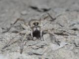 Lycosidae_5229805.jpg