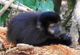 Black Capuchin