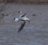 Little Gull--first-winter
