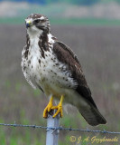 sub-adult Swainson's Hawk