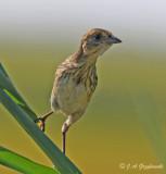 Seaside Sparrow--juvenile