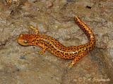 Red Salamander (Pseudotriton ruber ruber)
