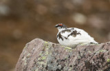 Rock Ptarmigan (Lagopus muta) Adult male - Norway, Berlevåg