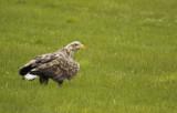 White-tailed Eagle (Haliaeetus albicilla) Norway - Vardo