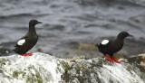 Black Guillemot (Cepphus grylle) Norway - Vardo - Hornøya
