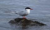 Arctic Tern (Sterna paradisaea) Norway - Vardø