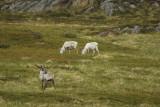 Reindeer (Rangifer tarandus) Norway - Vardø