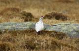 Rock Ptarmigan (Lagopus muta) Adult male - Norway - Båtsfjord