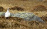 Rock Ptarmigan (Lagopus muta) Adult male - Norway, Båtsfjord