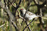 Arctic Redpoll (Acanthis hornemanni) Norway - Vadsø
