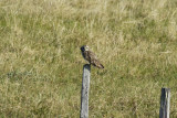 Short-eared Owl (Asio flammeus) Norway - Vadsø