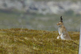 Mountain Hare (Lepus timidus) Norway - Vadsø