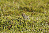 Red-throated Pipit (Anthus cervinus) Norway - Vadsø