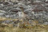 Tundra Bean Goose (Anser serrirostris) Norway - Berlevåg