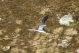 Red-throated Loon (Gavia stellata) Norway - Vardø