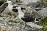 Great Black-backed Gull (Larus marinus) Norway - Vardo - Hornøya