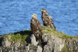 White-tailed Eagle (Haliaeetus albicilla) Norway - Vardø