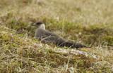Arctic Skua, Parasitic Jaeger (Stercorarius parasiticus) Norway - Vardø