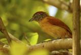 Barred Antshrike (Thamnophilus doliatus) *Female* Suriname - Paramaribo, Eco Resort Inn.