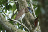 Boat-billed Heron (Cochlearius cochlearius) *Juvenile* Suriname - Paramaribo, mouth of the Van Sommelsdijck Creek