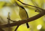 Common Tody-Flycatcher (Todirostrum cinereum) Suriname - Paramaribo, Eco Resort Inn