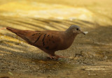 Ruddy Ground Dove (Columbina talpacoti) Suriname - Paramaribo, Eco Resort Inn