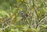 Pale-breasted Spinetail ssp josephinae (Synallaxis albescens josephinae) Suriname - Paramaribo, Weg naar Zee