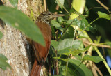 Straight-billed Woodcreeper (Dendroplex picus) Suriname - Commewijne, Peperpot Nature Reserve