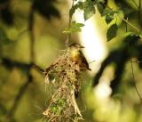 Amazonian Royal Flycatcher (Onychorhynchus coronatus coronatus ) Suriname - Commewijne, Peperpot Nature Reserve