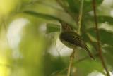 Helmeted Pygmy Tyrant (Lophotriccus galeatus) Suriname - Commewijne, Peperpot Nature Reserve