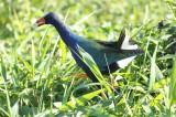 Purple Gallinule (Porphyrio martinica) Suriname - Paramaribo