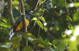 Green-backed Trogon (Trogon viridis) Suriname - Para, Colakreek