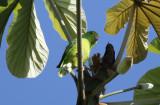 Green-rumped Parrotlet (Forpus passerinus) Suriname - North Commewijne, Plantage Bakkie