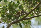 Spot-breasted Woodpecker (Colaptes punctigula) Suriname - Commewijne, Warappakreek