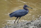 Little Blue Heron (Egretta caerulea) Suriname - Wanica