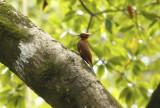 Chestnut Woodpecker (Celeus elegans) Suriname - Commewijne, Warappakreek