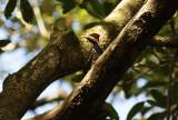 Crimson-crested Woodpecker (Campephilus melanoleucos) *Female* Suriname - Commewijne, Warappakreek