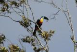 Channel-billed Toucan (Ramphastos vitellinus vitellinus) Suriname - Para, Powakka