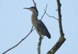 Striated Heron (Butorides striata striata) Suriname - Commewijne, Peperpot Nature Reserve