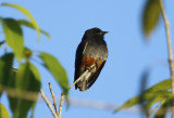 Swallow-winged Puffbird (Chelidoptera tenebrosa tenebrosa) Suriname - Commewijne, Peperpot Nature Reserve