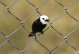 White-headed Marsh Tyrant (Arundinicola leucocephala) *male* Suriname - Airport