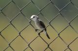 White-headed Marsh Tyrant (Arundinicola leucocephala) *Female* Suriname - Airport