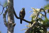 Roadside Hawk (Rupornis magnirostris) Suriname - Commewijne, Peperpot Nature Reserve