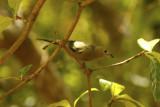 Palm Tanager (Thraupis palmarum) Suriname - Paramaribo, Eco Resort Inn