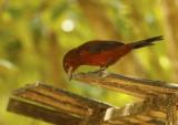 Silver-beaked Tanager (Ramphocelus carbo) Suriname - Paramaribo, Eco Resort Inn