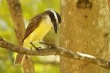 Great Kiskadee (Pitangus sulphuratus) Suriname - Paramaribo, Eco Resort Inn